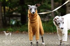 Extra heat / Caramel in IGGYplus italian greyhound clothes                                                                                                                                                                                 More