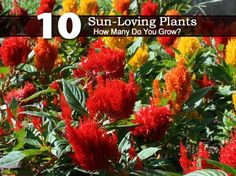 sun loving plants offer a stunning range of expressive blooms in a huge variety of shapes, sizes, and hues. As their name suggests, they thrive well in sunny conditions and some even withstand water shortage. Therefore, if you live in a location with water rationing, these plants can... #spr #sum