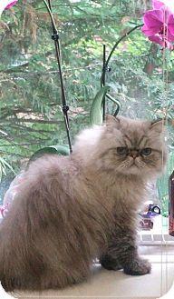 HILLSBORO, OR - Himalayan. Meet Rambo 'Offered by Owner' Himalayan, a cat for adoption. http://www.adoptapet.com/pet/15141235-hillsboro-oregon-cat