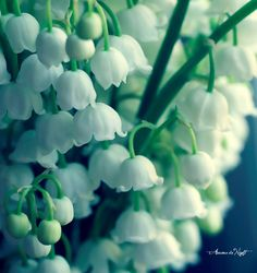 lily of the valley, my yeard is full of them, and in the spring my house is filled with them!