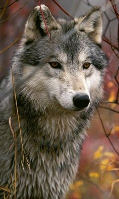 Animal Iphone wallpapers and backgrounds – Wallpapers Sites Animals And Pets, Baby Animals, Cute Animals, Amazing Animals, Animals Beautiful, Wolf Spirit, Spirit Animal, Wolf Husky, Wolf Pictures