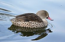 Cape Teal - Wikipedia, the free encyclopedia