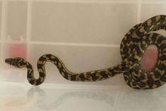 Carpet python bites man in bed