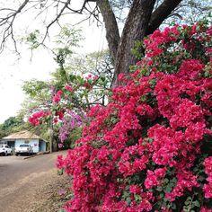 Bougainvillea in Hanapepe Kauai #bougainvillea #smalltown #hanapepe #kauai #hawaii #flowers #trees #pink #usa #aloha #travel #travelgram #vacation by stephen_ruskin