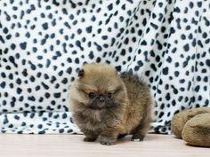 Boutique Teacup Puppies -Tiny Teacup Male Sable Pom