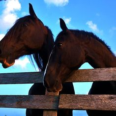 Twin Horses by Nalinne Jones. These beauties were so friendly they ran up to the fence to greet us! I love the glow of the golden hour sun on their silky smooth fur and lips!
