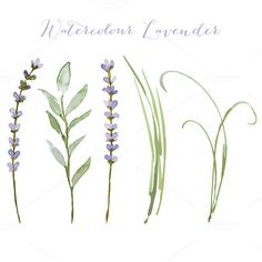 Vector watercolour lavender by designloverstudio on @creativemarket