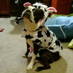Cow Costume of a Boston Terrier named Larry from Seattle usa