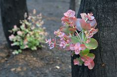 Epicormic growth - after bushfires
