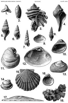 Miocene Fossils from Maryland Botanical Drawings, Sketches, Nature Illustration, Drawings, Shell Art, Scientific Illustration, Art, Seashell Illustration, Vintage Drawing