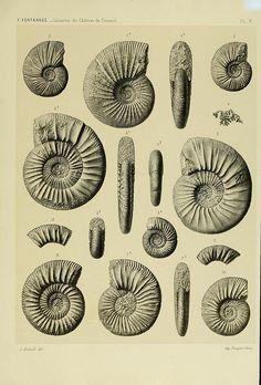 Description de ammonites des calcaires du château de Crussol, Ardèche :. Lyon: Georg; 1879.. biodiversitylibrary.org/page/13125638