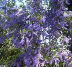 FlowerL_Petrea. A beautiful tree vine flower. Very similar to wisteria. Perfect for hot or tropical weather.