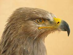 Image result for Tawny eagle