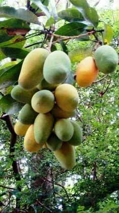 Pin by Flowers In Heart on Fruits in 2019 Fruit Plants, Fruit Garden, Garden Trees, Fruit Trees, Trees To Plant, Types Of Fruit, Fruit And Veg, Fresh Fruit, Mango Fruit