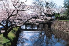 cherry blossom tree | Cherry Tree Over Moat