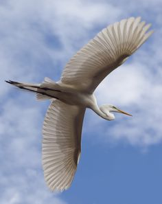 Flying White Egret  by Jeny Plante, via 500px