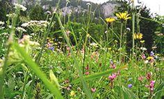 Televideo - Coltivare erbe selvatiche in giardino