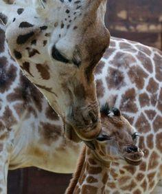 Giraffe - Re-pinned from Forever Friends http://foreverfriendsfinestationeryandfavors.com