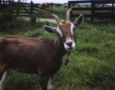 Is There Any Way to Keep the Goats Confined Without Putting in a New Fence?