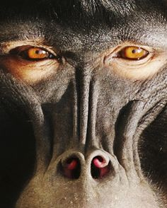 Lip-Smacking Primates May Offer Insight Regarding The Origin Of Human Speech