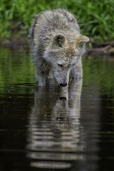"""""""Pondering ones reflection"""" by Daniel Parent / Animal Cuteness on imgfave"""