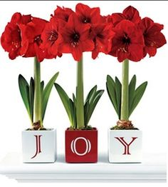 Holiday centrepiece, Christmas decor. Holiday flowers. Go Plant Your Amaryllis! Now!