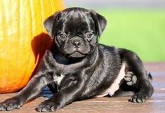 This precious family raised Pug Mix puppy will make a great cuddle buddy! He is very socialized and playful and does very well with children. This puppy Pugs For Sale, Puppies For Sale, Large Animals, Cute Animals, Miniature Pug, Pug Mix, Baby Pugs, Pug Puppies, Dog Toys