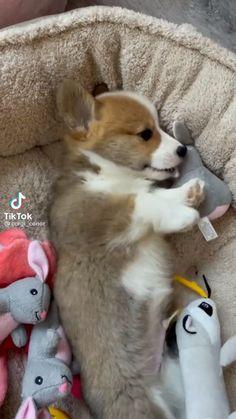 Cute Corgi Puppy, Cute Puppies, Cute Dogs, Funny Dog Videos, Funny Dogs, Cute Funny Animals, Cute Baby Animals, Pembroke Welsh Corgi, Cute Animal Pictures