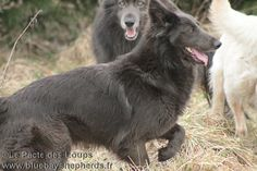 Wolfdog Hybrid, Kindred Soul, Wild Dogs, German Shepherd Puppies, Pet Dogs, Elf, Corgi, Portraits, Facebook