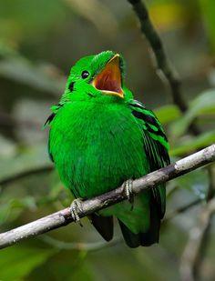 Green Broadbill (Calyptomena viridis) - male | by Zakir Hassan