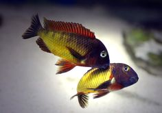 """Scientific Name: Tropheus moorii (Kasanga) Pronunciation: tr-f-s mr- Common Name(s): Red Rainbow Habitat: Shallow Precipitous Rocky Habitat Diet: Herbivore Gender Differences: Monomorphic Breeding: Maternal Mouthbrooder Conspecific Temperament: Highly Aggressive Maximum Size: 5"""" Temperature: 77 - 79°F pH: 8.6 Water Hardness: Very Hard Difficulty: 4 The T. moori from Kasanga has a predominantly red dorsal. However, some fish in the population may show a blue dorsal."""