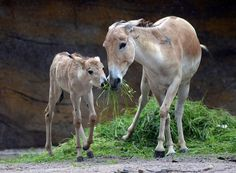 Snack time                 A month-old onager foal eats alongside its mother at the Tierpark Hagenbeck Zoo in Hamburg, Germany