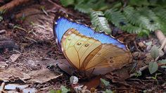 Morpho Butterfly, Moth, Insects, Animals, Animales, Animaux, Animal, Animais