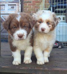 Beautiful+Australian+Shepherd+Puppy+2