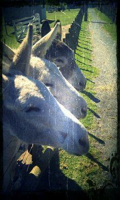 The fearsome three-headed donkey