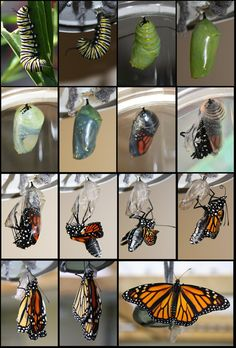 "Monarch Butterfly Life Cycle. ""Therefore   if any man be in Christ, he is a new creature: old things are passed away;   behold, all things are become new."" 2 Corinthians 5:17"