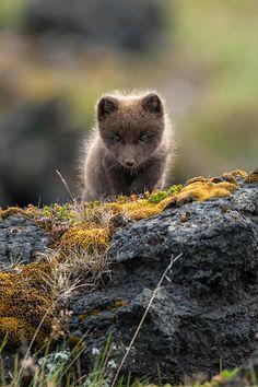 Icelandic Arctic Fox Cub by Einar Gudmann