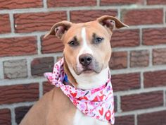 HOLLY - A1100420 - - Manhattan  Please Share:TO BE DESTROYED 01/05/17 **ON PUBLIC LIST** A volunteer writes: The holidays are gone, but Holly is still here to cheer you up. A pooch named Holly, this is. She is a fine young lady. She wears a beautiful tan coat with a snappy white vest and facial accents. Quite a package! Come pick up this love bug today. You really need a great new friend going into the new year. Make 2017 memorable. The year you met Holly.  -  Click for i