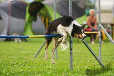 border collie agility