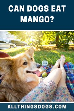 The next exotic fruit on our list is Mango but can dogs eat mango safely? Mangoes are perfectly safe for Fido but due to the high sugar content, should be fed occasionally and in small amounts. Read on to learn more. Corgi Mix Breeds, Smartest Dog Breeds, High Sugar, Can Dogs Eat, Exotic Fruit, Dog Eating, Mixed Breed, Mango, Coconut