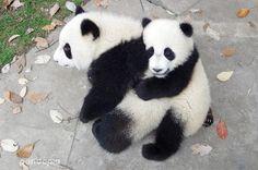 Giant Pandas Qing Da and Meng Lan in 2016 at Chengdu Research Base of Giant Panda Breeding Panda Day, Panda Love, Cute Panda, Panda Lindo, Pandas Playing, Baby Panda Bears, Baby Pandas, Red Pandas, Image Chat