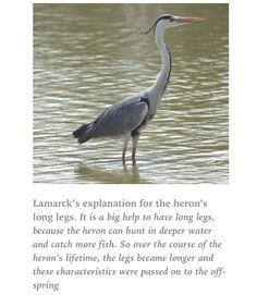 Heron evolution according to Lamarck.