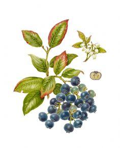 Blueberry - Vaccinium corymbosum