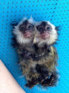Baby pygmy marmoset twins hugging