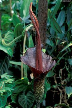 Voodoo Lily. Amorphophallus Rivieri.