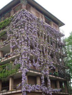 Glicine condominiale a Monza - Wisteria https://lefotodiluisella.blogspot.it/2017/04/glicini-storici.html