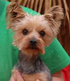 Eagle is a thoughtful, alert little boy rebounding well from severe neglect.  He was found on the Vegas streets in poor condition with no sign of responsible ownership.  Eagle is a Yorkshire Terrier, about 6 years of age, neutered, and debuting for adoption today at Nevada SPCA (www.nevadaspca.org).  He gets along well with friendly dogs and needs regular professional grooming.