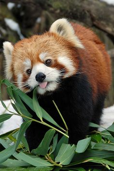 Red Panda enjoys a snack
