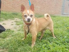 Montigue is an adoptable Chihuahua Dog in Allentown, PA. Most of our animals are strays. What we share about the animal is what we have observed during their stay at the shelter. Best thing to do is t...