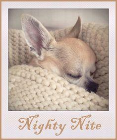 The baby chihuahua is going nighty nite